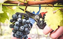 灰石酒庄(Greystone Wines)的成名史